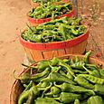 Chili Harvest!